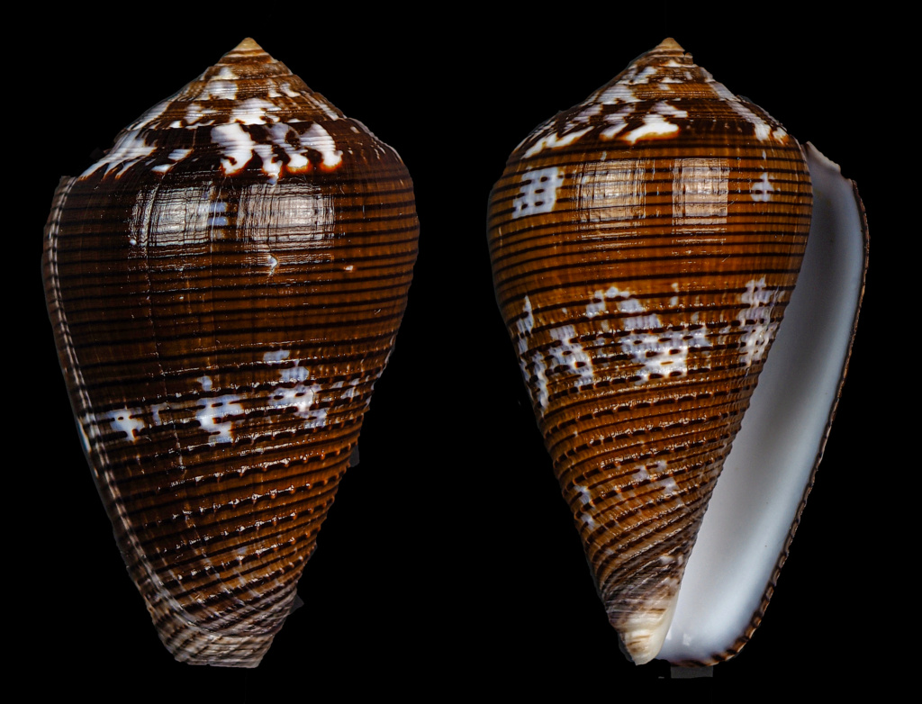 Conus (Pionoconus) catus   Hwass in Bruguière, 1792 - Page 5 Easoni10