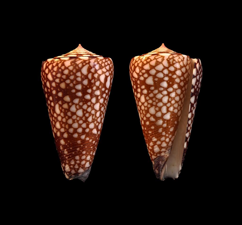 Conus (Eugeniconus) gisellelieae (Parsons, Abbas & Lie, 2020) Eugeni16