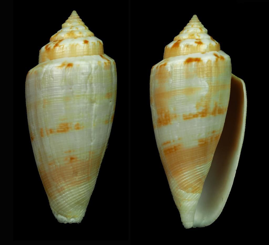Conus (Floraconus) anemone Lamarck, 1810 Florac13