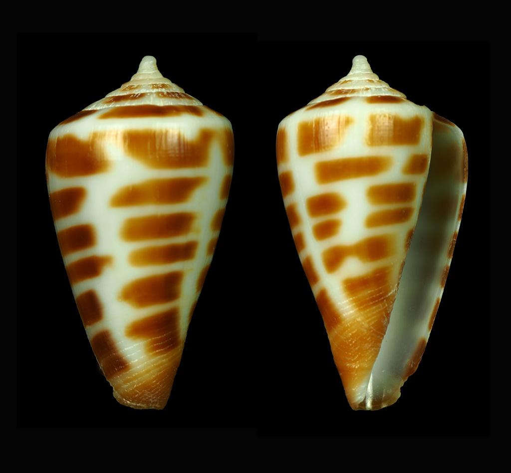 Conus (Sciteconus) mpenjatiensis (S. G. Veldsman, 2016)· accepté alternate representation Florac14