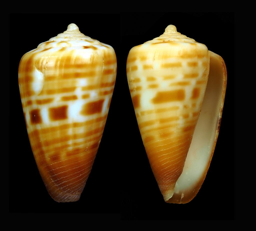 Conus (Sciteconus) mpenjatiensis (S. G. Veldsman, 2016)· accepté alternate representation Florac16