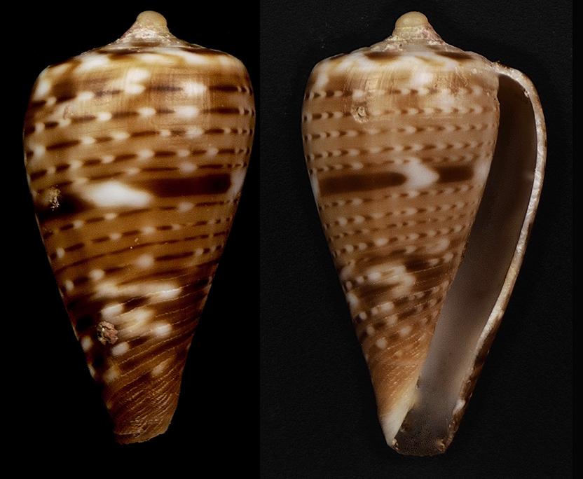 Conus (Sciteconus) mpenjatiensis (S. G. Veldsman, 2016)· accepté alternate representation Florac17