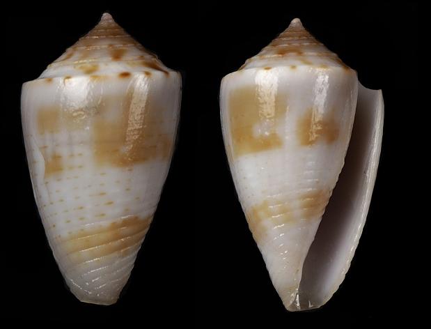 Conasprella (Ximeniconus) pusio (Hwass in Bruguière, 1792) Jaspid10