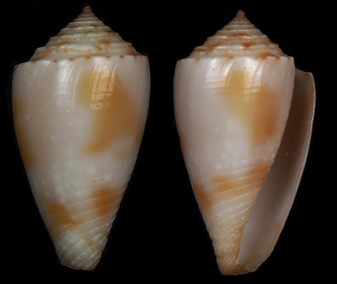 Conasprella (Ximeniconus) pusio (Hwass in Bruguière, 1792) Jaspid11