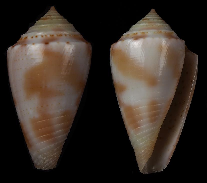 Conasprella (Ximeniconus) pusio (Hwass in Bruguière, 1792) Jaspid12