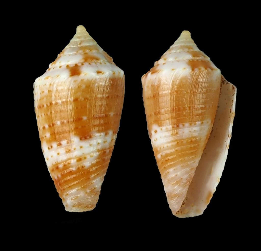 Conasprella simonei (Petuch & R. F. Myers, 2014) Jaspid17