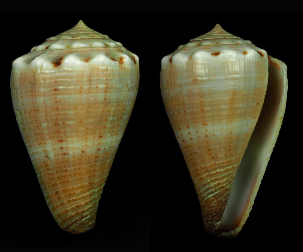 Kioconus (Nitidoconus) parvulus meyeri (Walls, 1979) Kiocon14