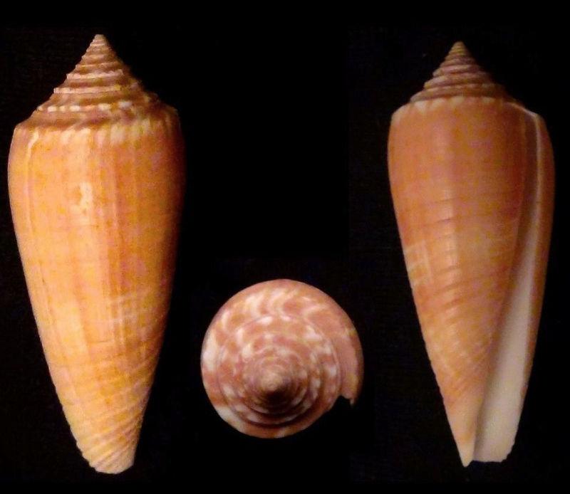 Conus (Phasmoconus) tmetus Tomlin, 1937 voir Conus (Ph.) ochroleucus - Page 2 Ochrol11