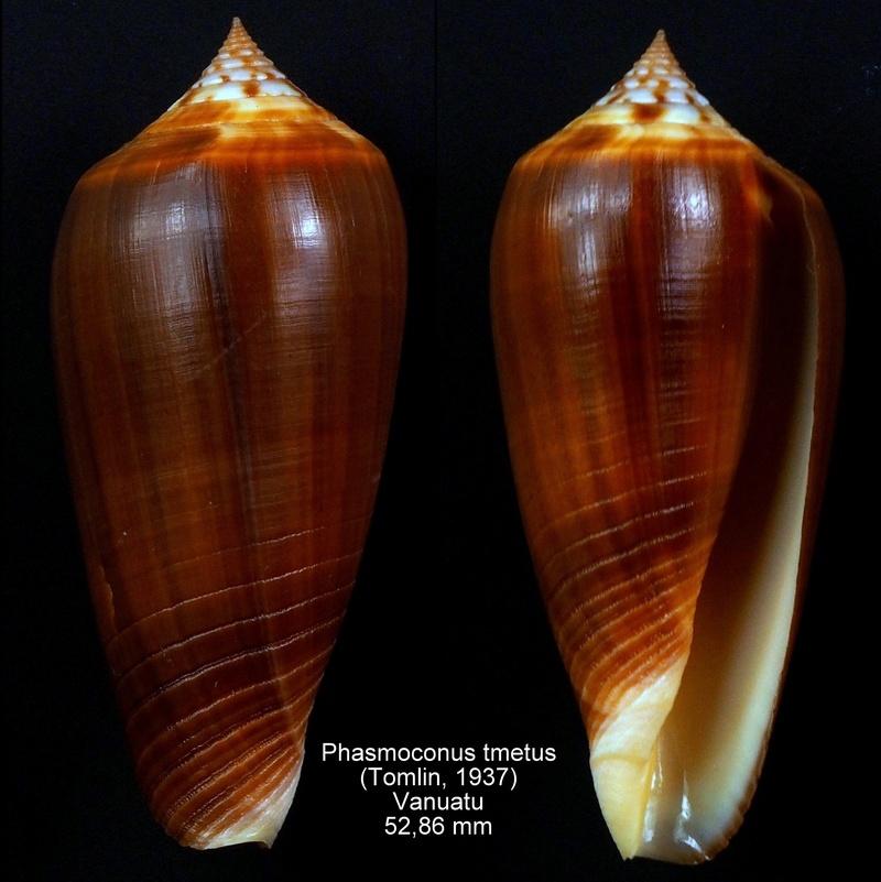 Conus (Phasmoconus) tmetus Tomlin, 1937 voir Conus (Ph.) ochroleucus - Page 2 Phasmo10