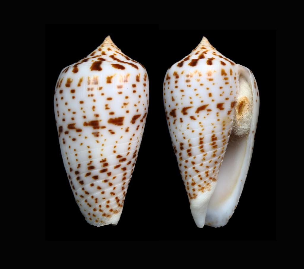 Conus (Phasmoconus) amplus  Röckel & Korn, 1992 Phasmo12