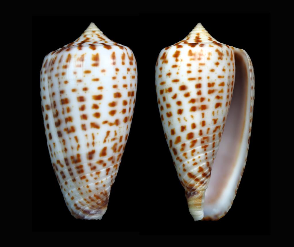Conus (Phasmoconus) amplus  Röckel & Korn, 1992 Phasmo13