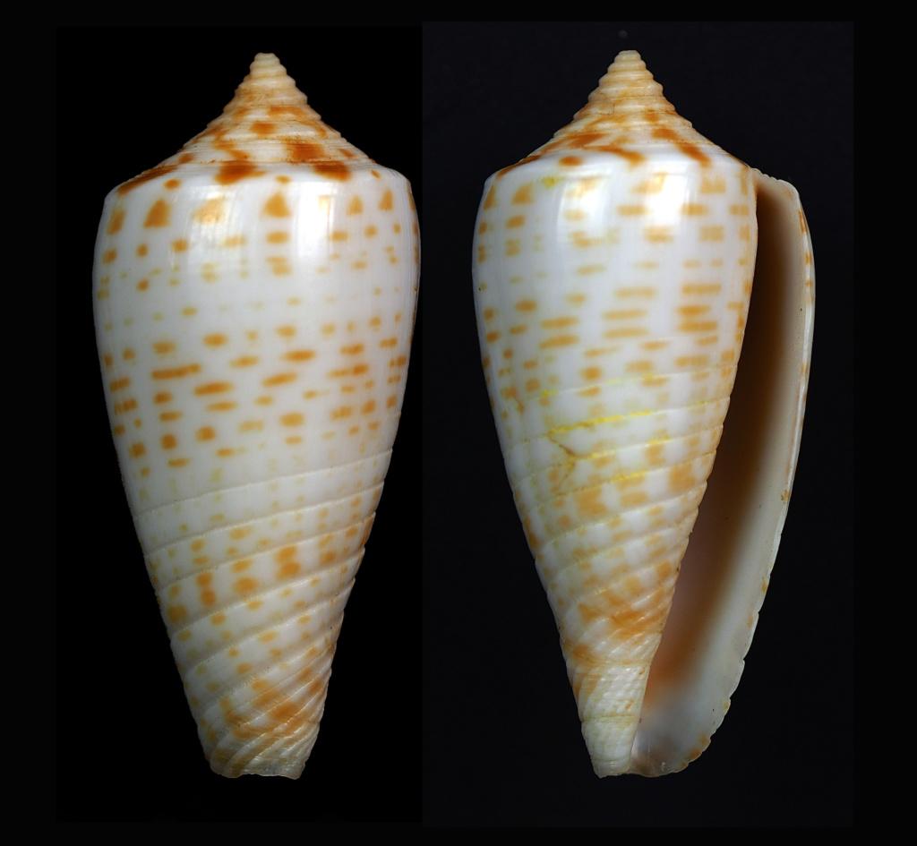 Conus (Phasmoconus) amplus  Röckel & Korn, 1992 Phasmo14