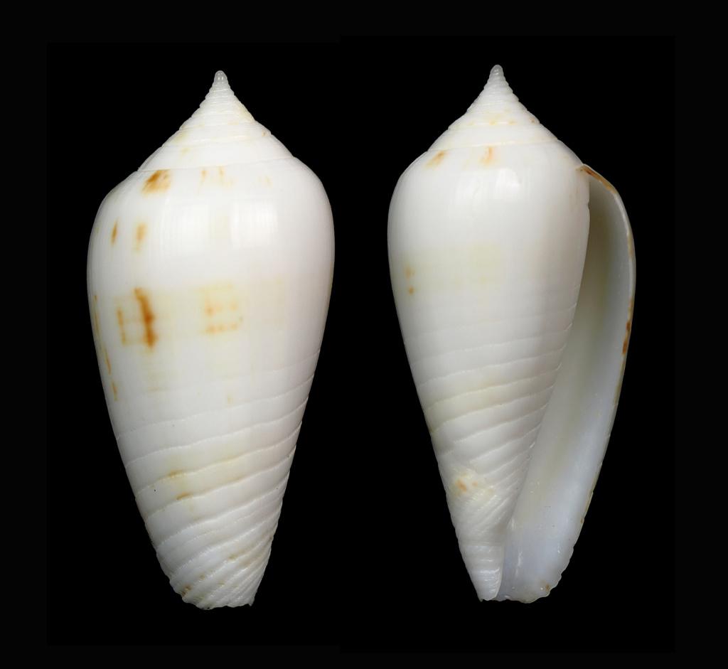 Phasmoconus (Phasmoconus) sertacinctus (Röckel, 1986) Phasmo15