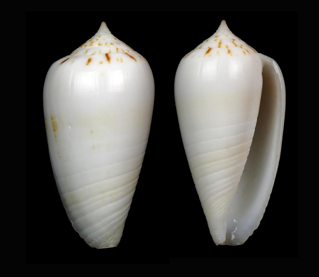 Phasmoconus (Phasmoconus) sertacinctus (Röckel, 1986) Phasmo17