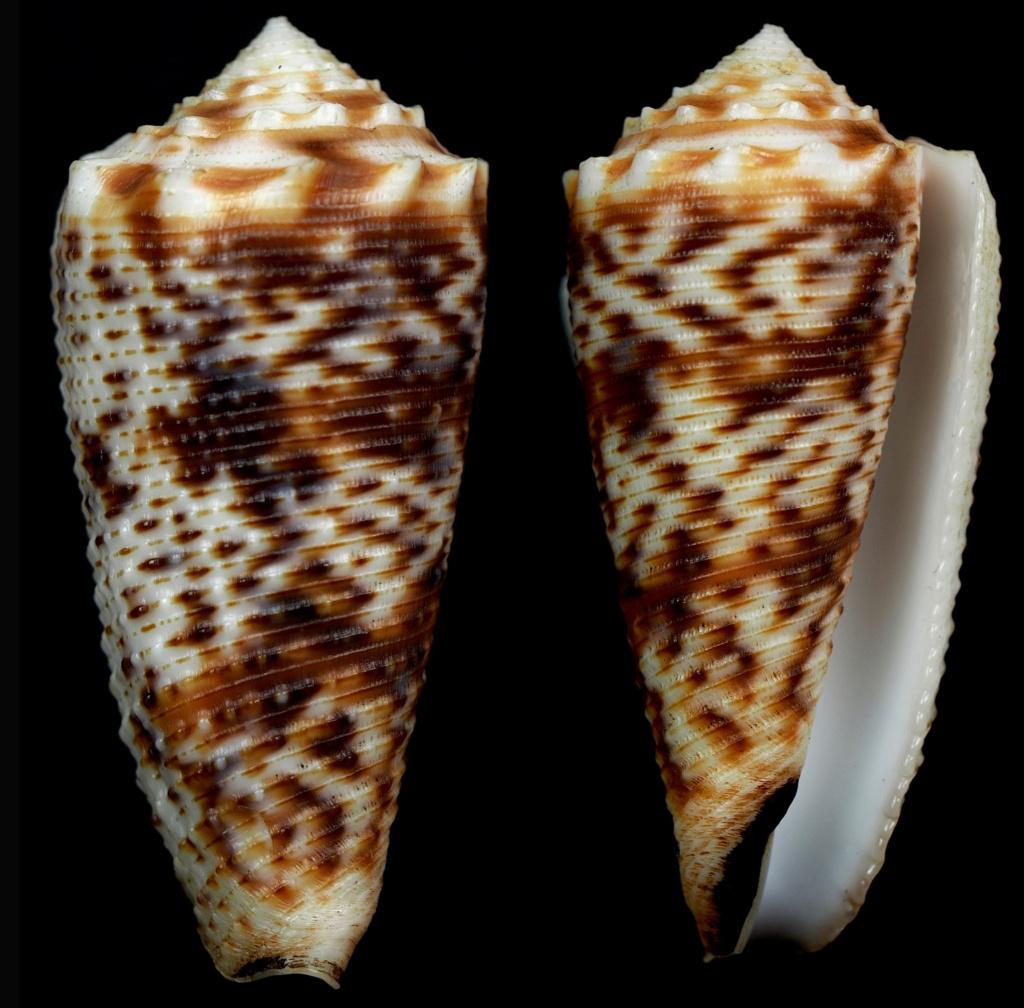 Conus (Phasmoconus) moluccensis   Küster, 1838 Phasmo23