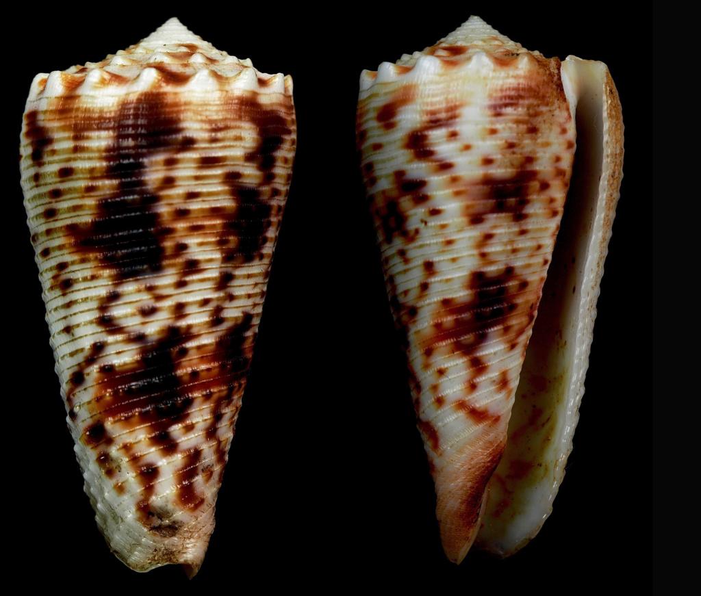 Conus (Phasmoconus) moluccensis   Küster, 1838 Phasmo24