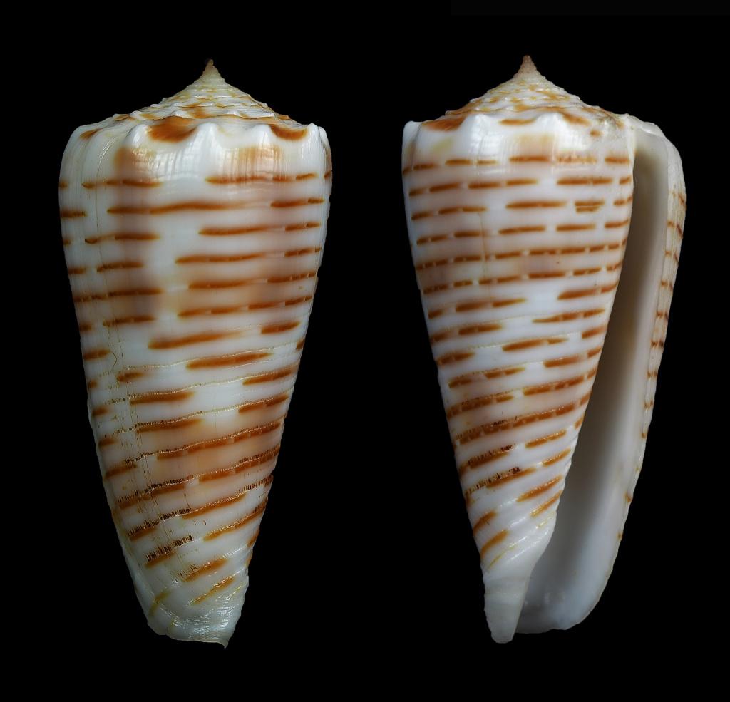 Conus (Phasmoconus) goudeyi   Monnier & Limpalaër, 2012 Phasmo25