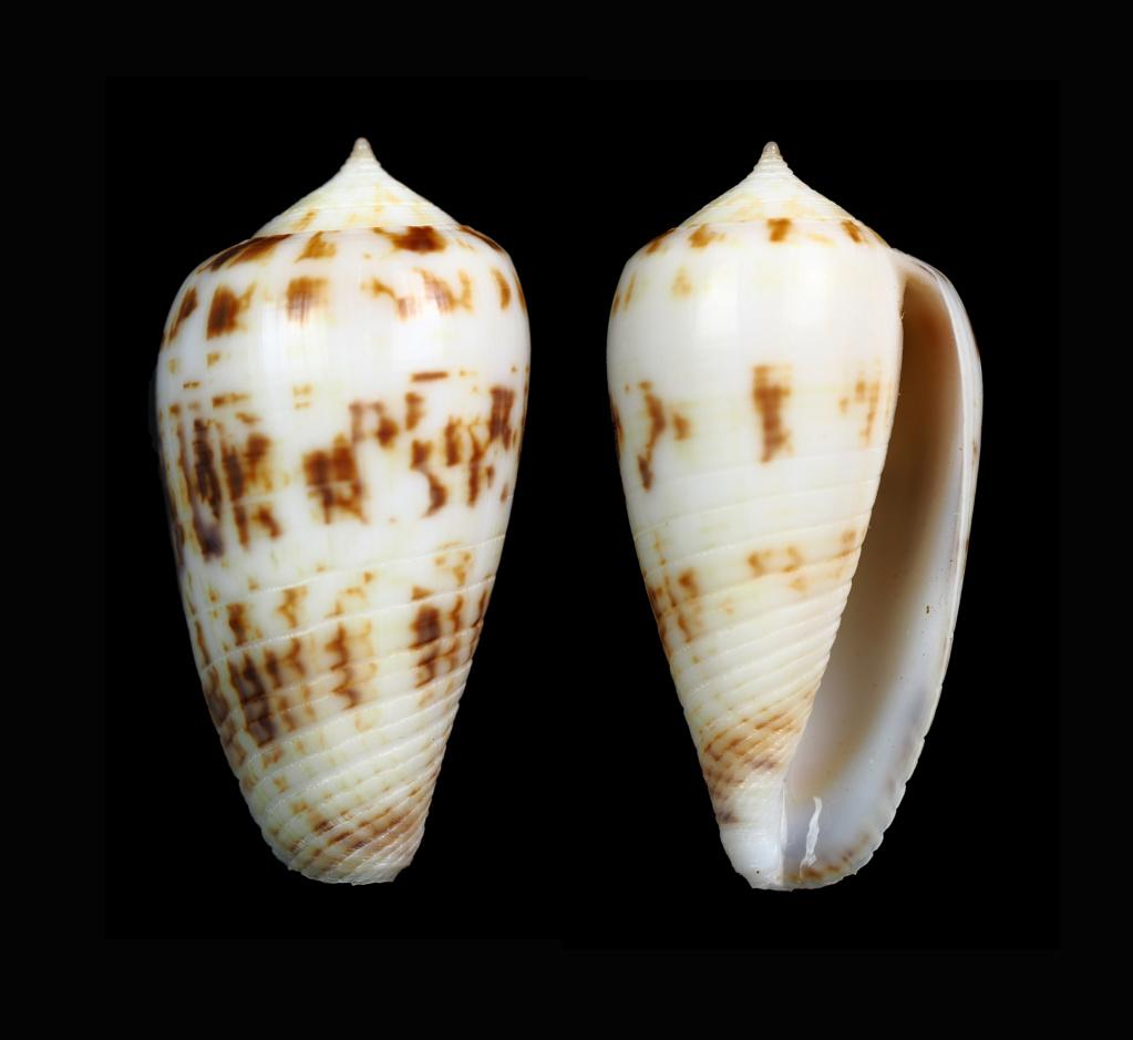 Conus (Phasmoconus) solomonensis   Delsaerdt, 1992 Phasmo29