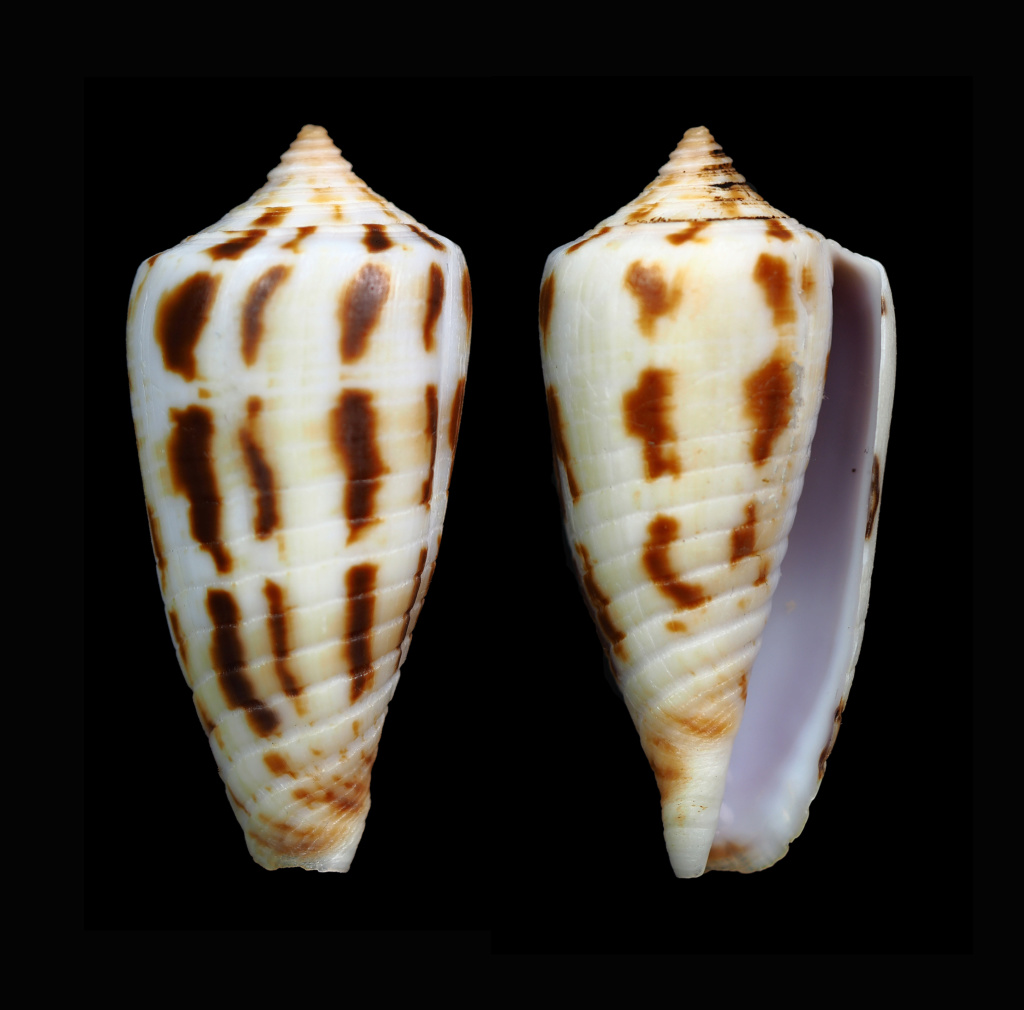 Phasmoconus (Phasmoconus) subulatus (Kiener, 1847) Phasmo30