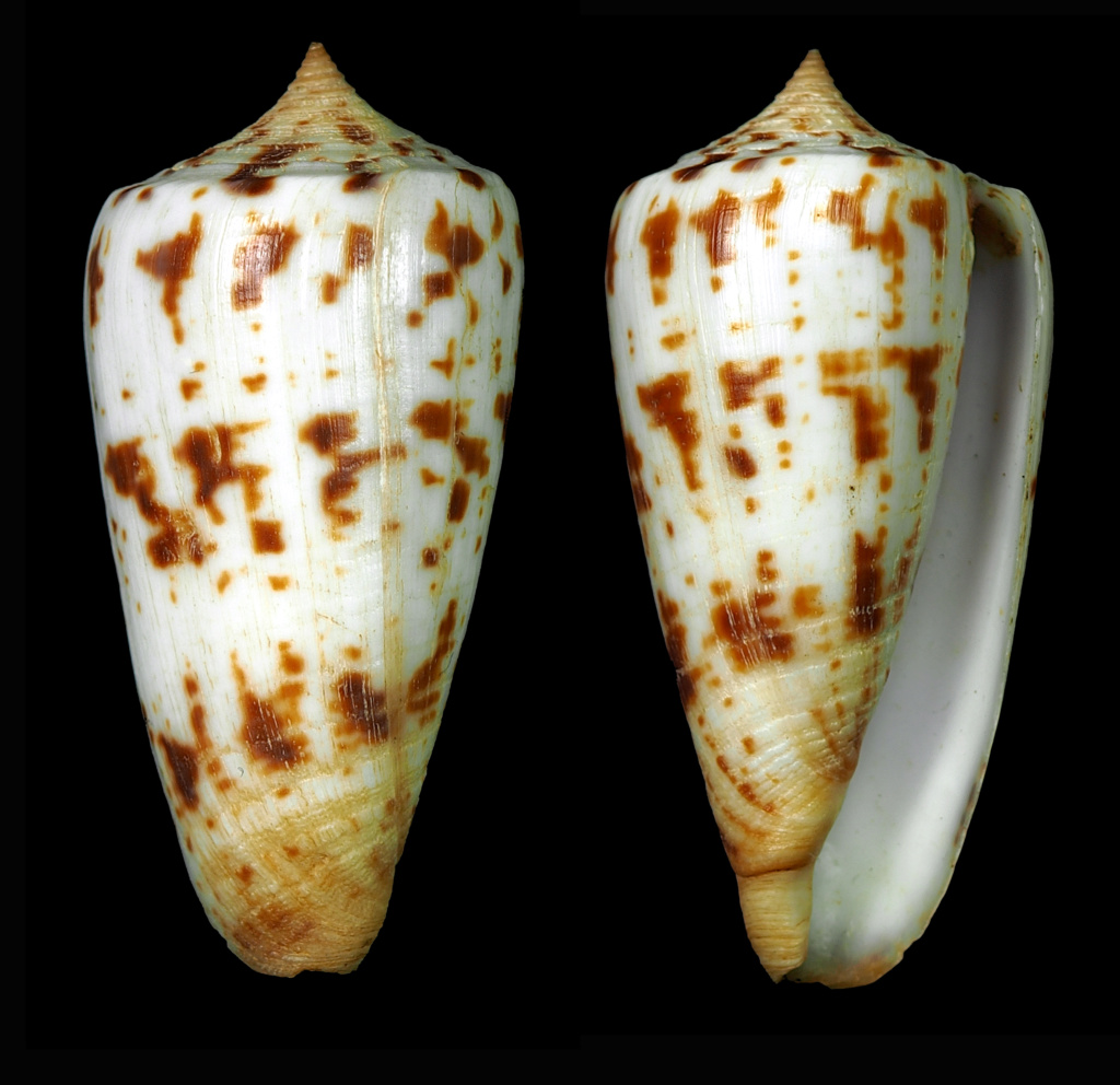 Phasmoconus (Phasmoconus) subulatus (Kiener, 1847) Phasmo31