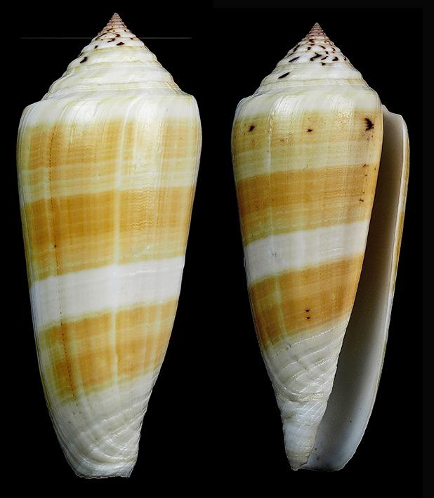 Conus (Pionoconus) carinatus (Swainson, 1822) voir Conus (Pionoconus) magus Pionoc10