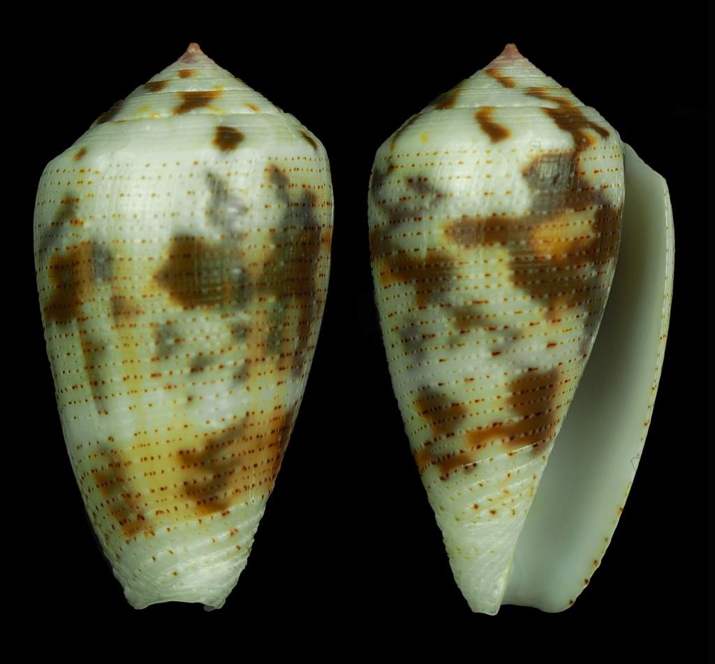 Conus (Pionoconus) striolatus (Kiener, 1848) - Page 2 Pionoc13