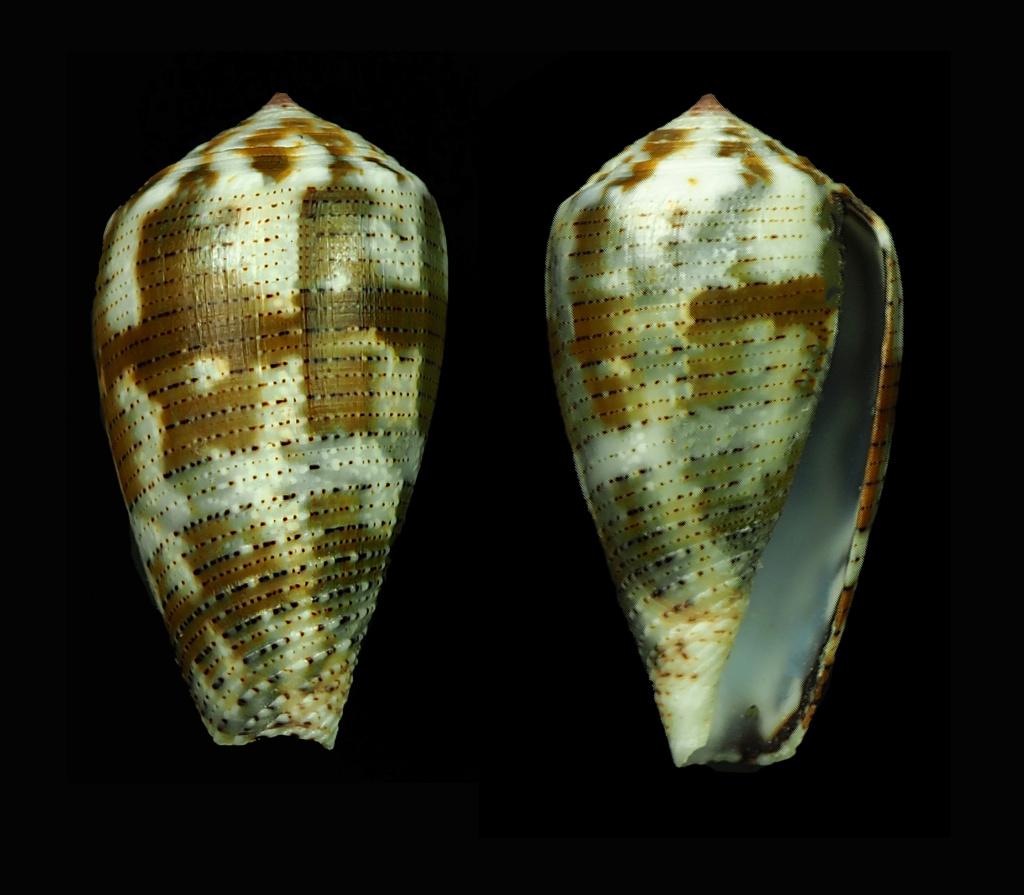 Conus (Pionoconus) striolatus (Kiener, 1848) - Page 2 Pionoc14