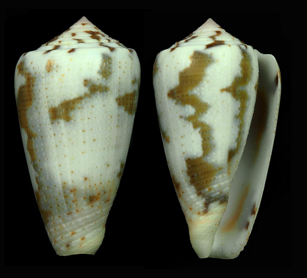 Conus (Pionoconus) striolatus (Kiener, 1848) - Page 2 Pionoc15