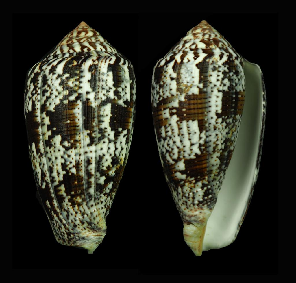 Conus achatinus (Pionoconus)(Gmelin, 1791) Pionoc16