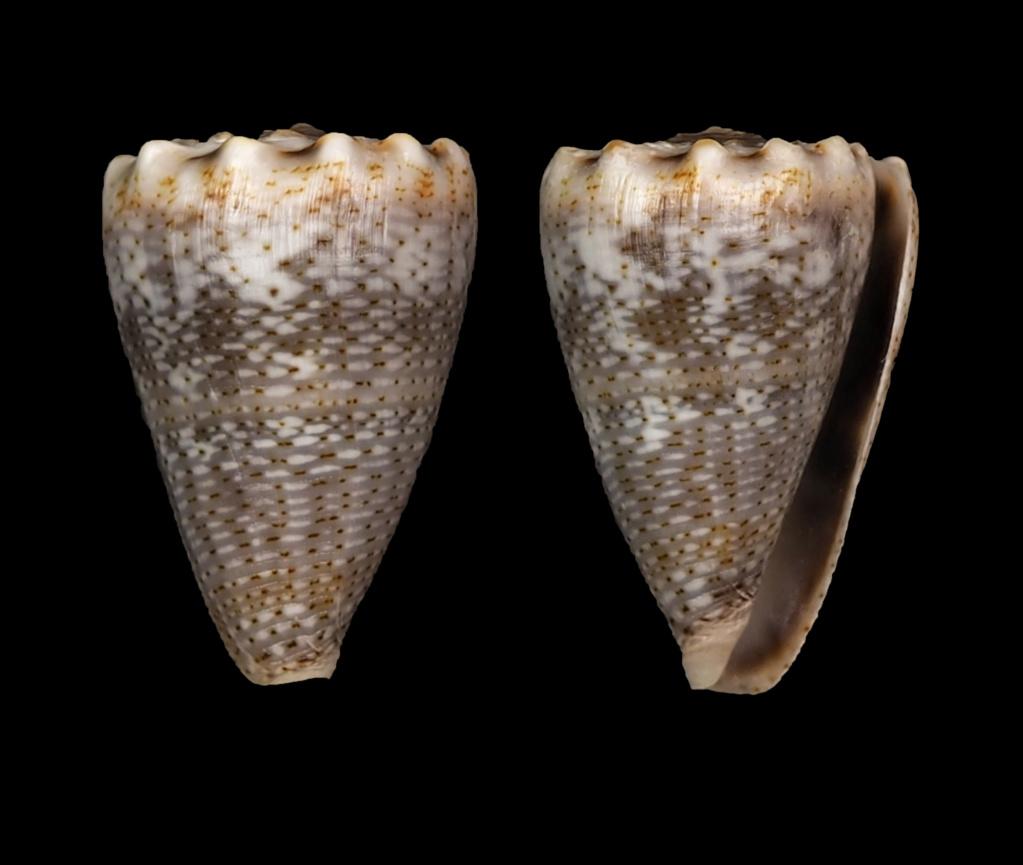 Virroconus encaustus (Kiener, 1845)  Virroc10