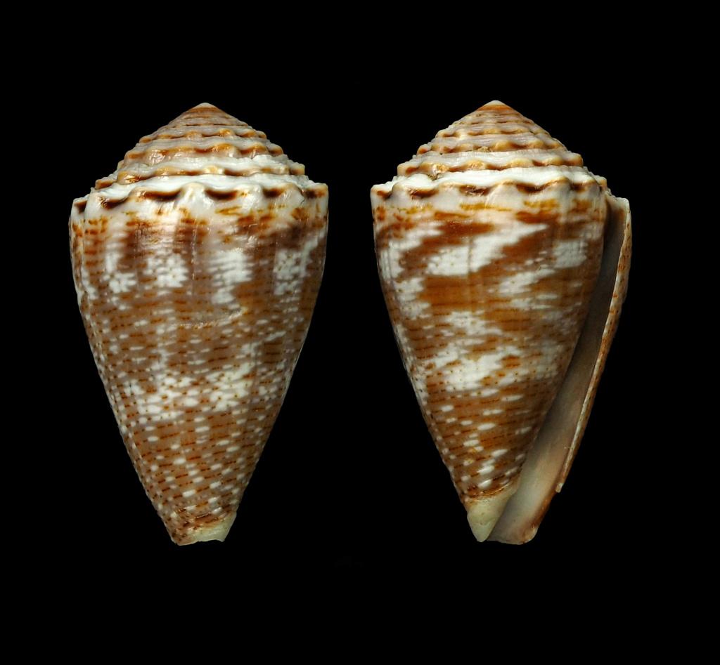 Virroconus encaustus (Kiener, 1845)  Virroc12