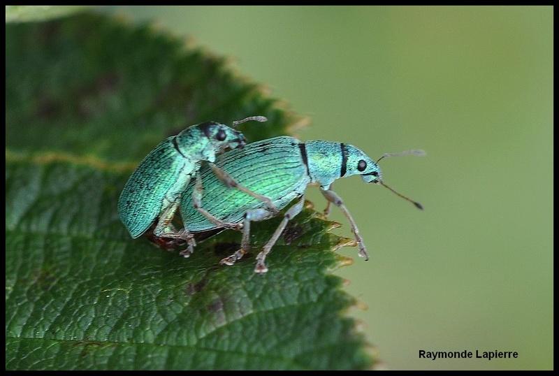 Charançon vert pâle Dsc_6310