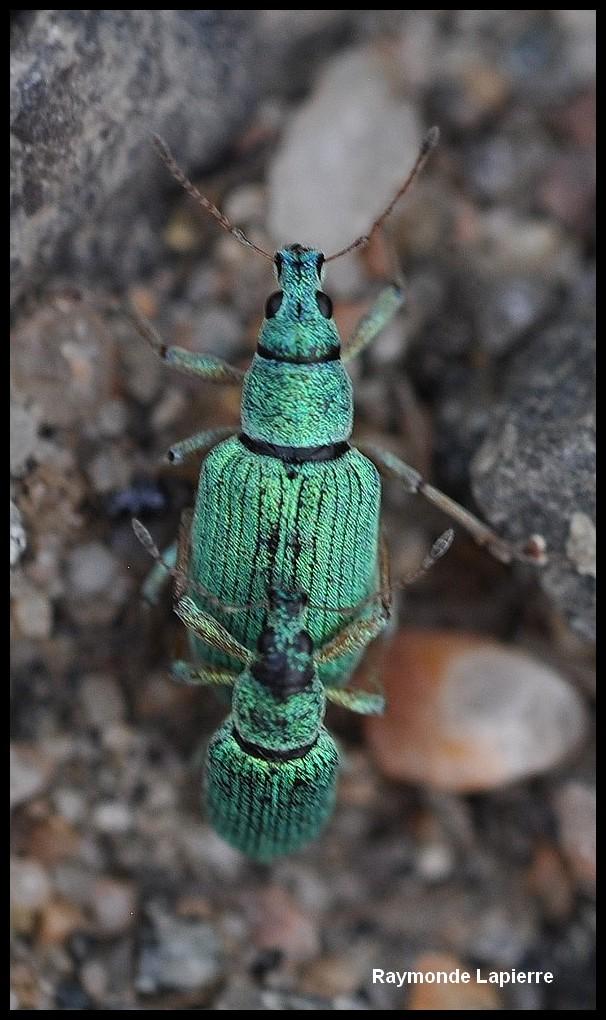 Charançon vert pâle Dsc_6311