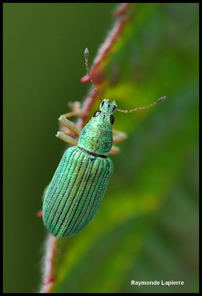 Charançon vert pâle Dsc_6410