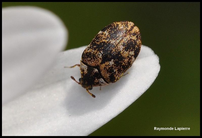 Très petit coléoptère Dsc_6411