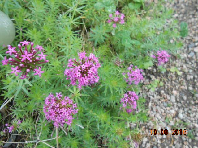Crucianella stylosa (Phuopsis stylosa) Dscn3035