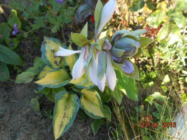 hosta Plantaginea Grandiflora - Page 15 Dscn3147