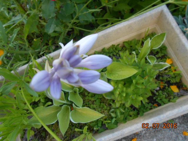 hosta Plantaginea Grandiflora - Page 15 Dscn3212