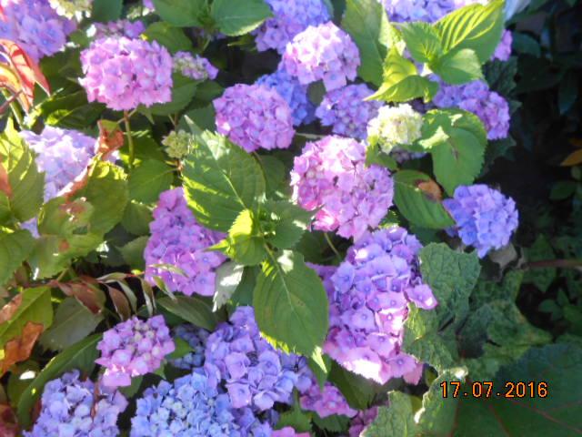 hortensia - Page 31 Dscn3247