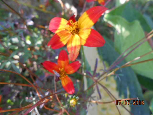 BIDENS 'Beedance Painted Red Dscn3250