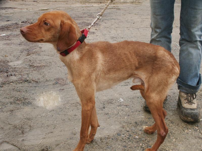 KOLA, type beagle mâle, 1 an 1/2, fourrière de Niort (79) Pict9511