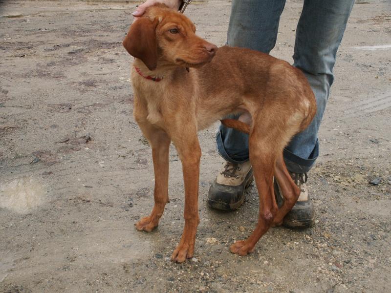 KOLA, type beagle mâle, 1 an 1/2, fourrière de Niort (79) Pict9535