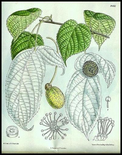 Davidia involucrata - arbre aux mouchoirs  Davidi10