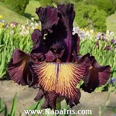 Les Iris plicata - une longue histoire et un bel exemple d'évolution Dramaq10