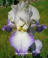Les Iris plicata - une longue histoire et un bel exemple d'évolution Foggy_10