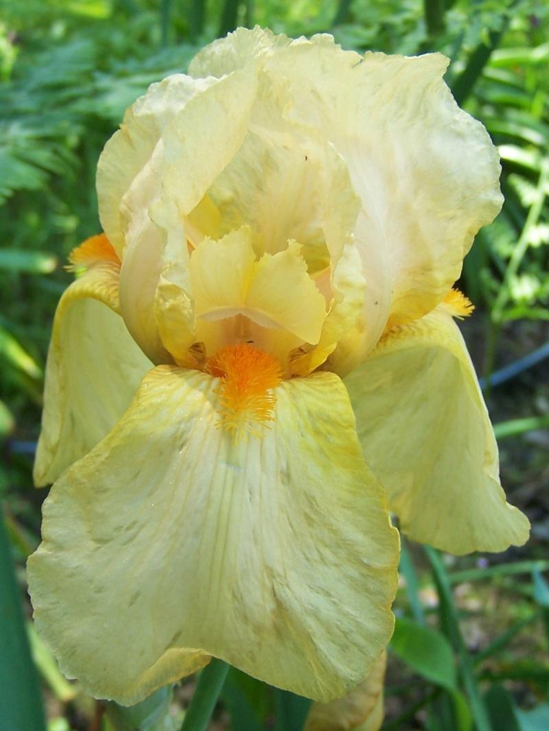 Iris jaune/blanc 41 pamina [identification en cours] - Page 2 Hitime10