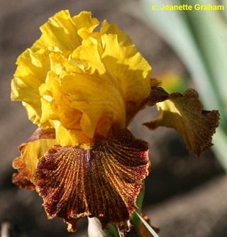 Les Iris plicata - une longue histoire et un bel exemple d'évolution Jitter10