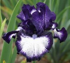 Les Iris plicata - une longue histoire et un bel exemple d'évolution Oreo-j10