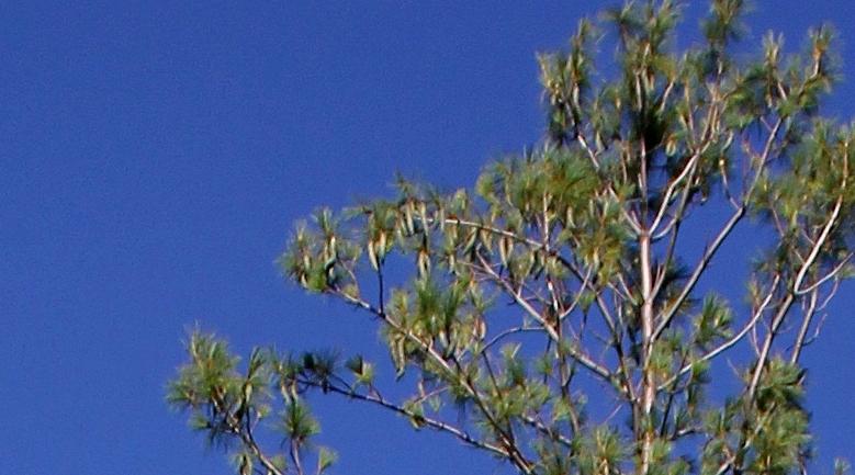 Pinus strobus - pin de Weymouth Pinus_10