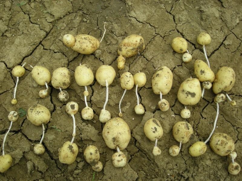 rendements en pomme de terre  Dscn1510